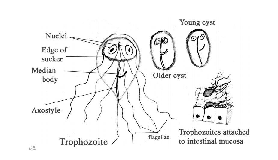 Giardia without treatment, Giardia in well water
