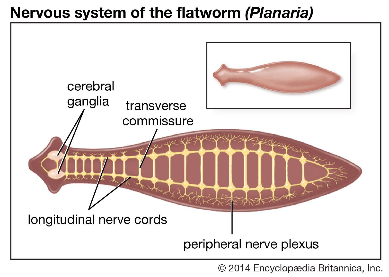 platyhelminthes turbellaria planaria metronidazol giardiasis esetén