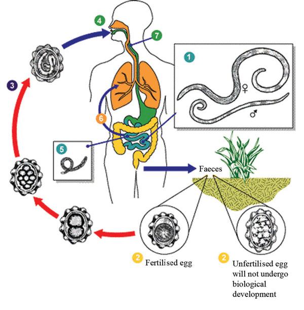 Giardia ascariasis malária - andrea-design.hu