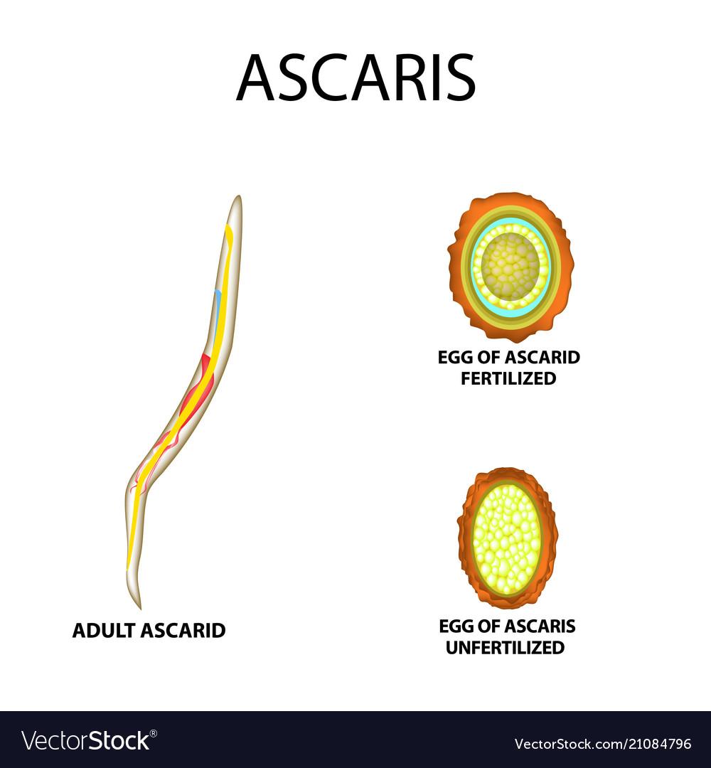 Népi gyógyszerek a pinworms és ascaris ellen - Paraziták ízületek kezelése