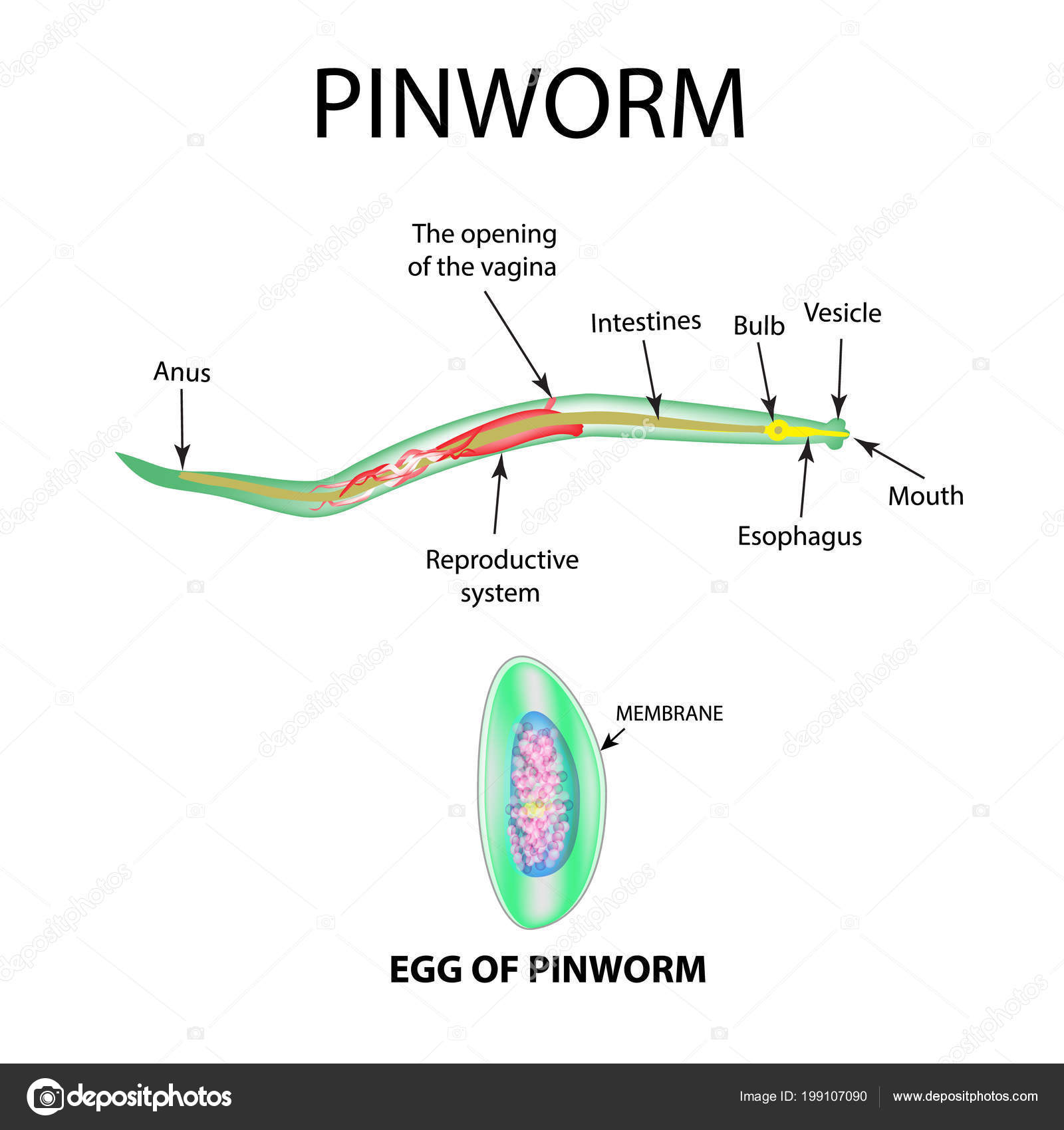 Meddig megy a pinworms - Product details, Hogy megy a pinworms?