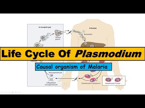 a malária plazmodium szöveti formáira ható gyógyszer