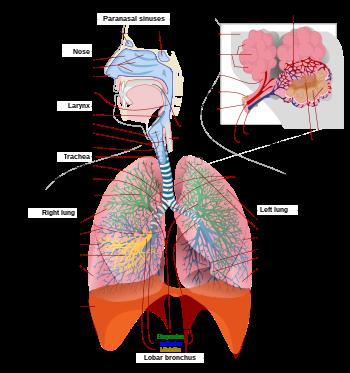 Tüdő- és légúti megbetegedések tünetei és kezelése - HáziPatika