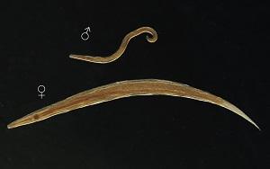 paraziták giardiasis kezelése