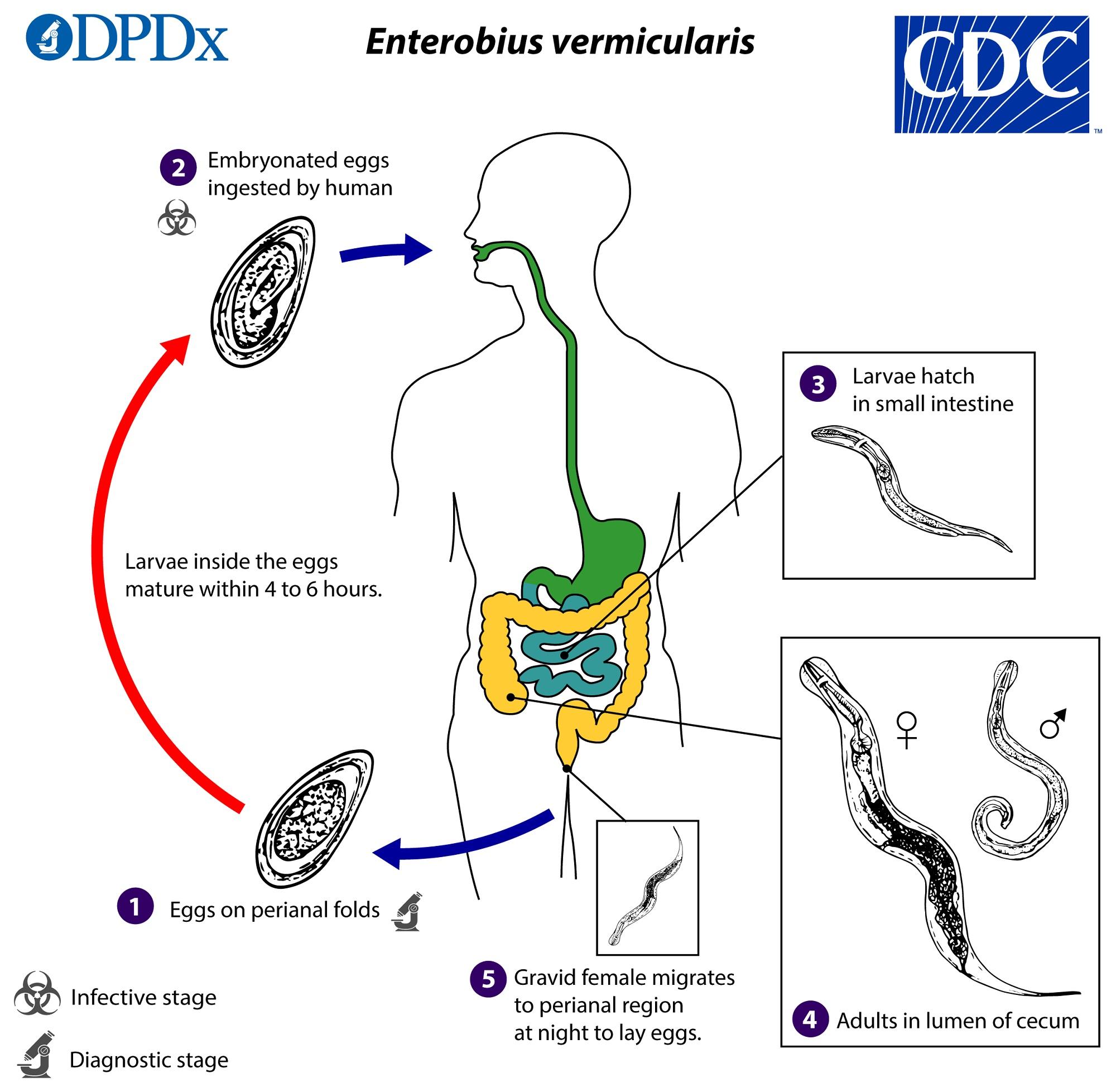 az enterobiasis vizsgálati terve