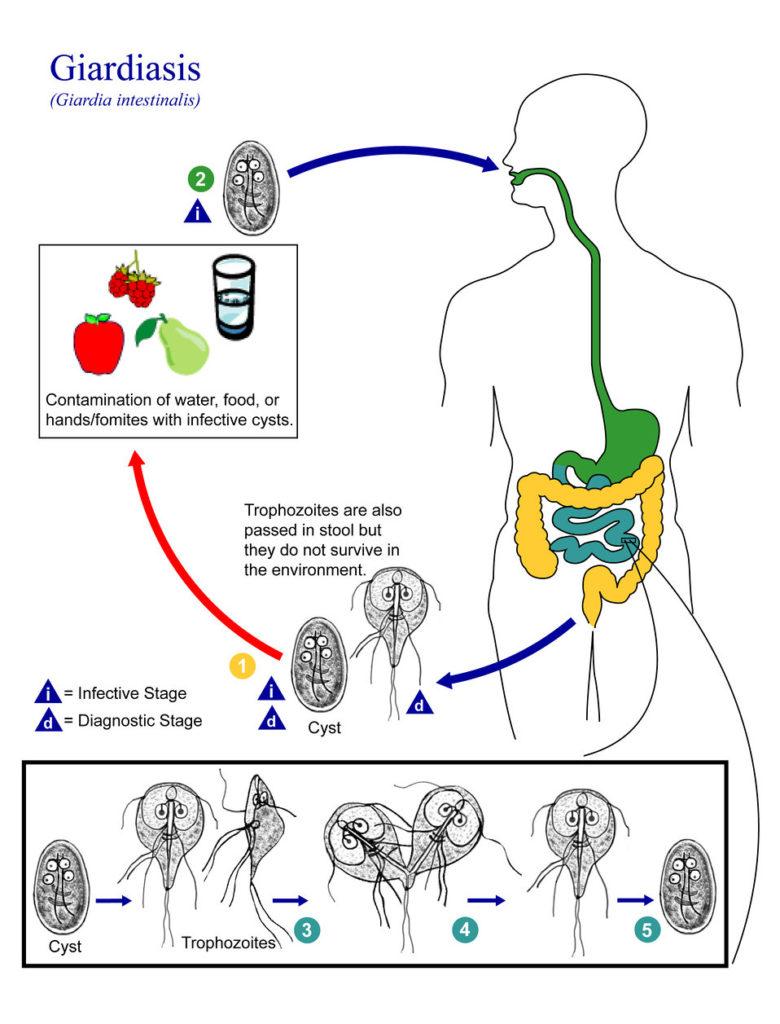 parazita gyógyszerek felnőtteknek