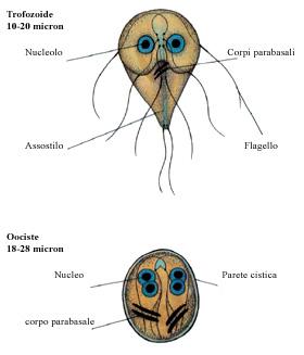 kérődzők trichocephalosis