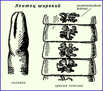 miért van egy gyermek gyakran pinworms ben a gyermek pinworm tojásokat talált