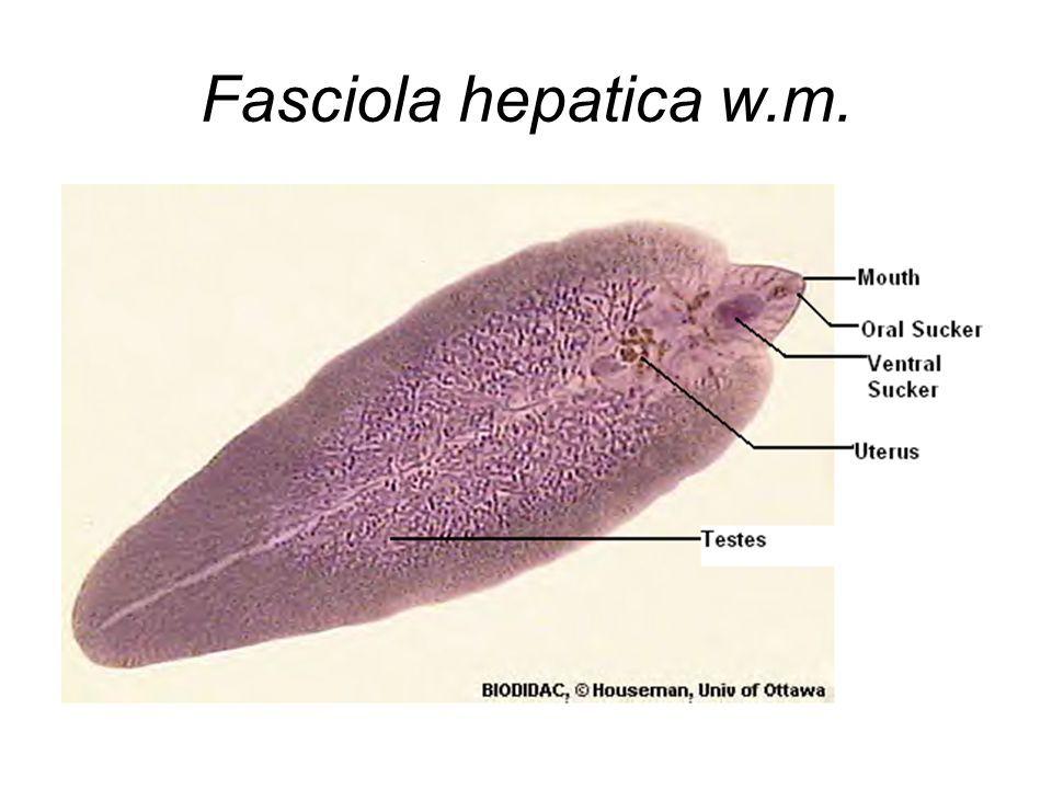 Filo platyhelminthes trematoda - A Metazoa filogénia feltételezett útvonalai