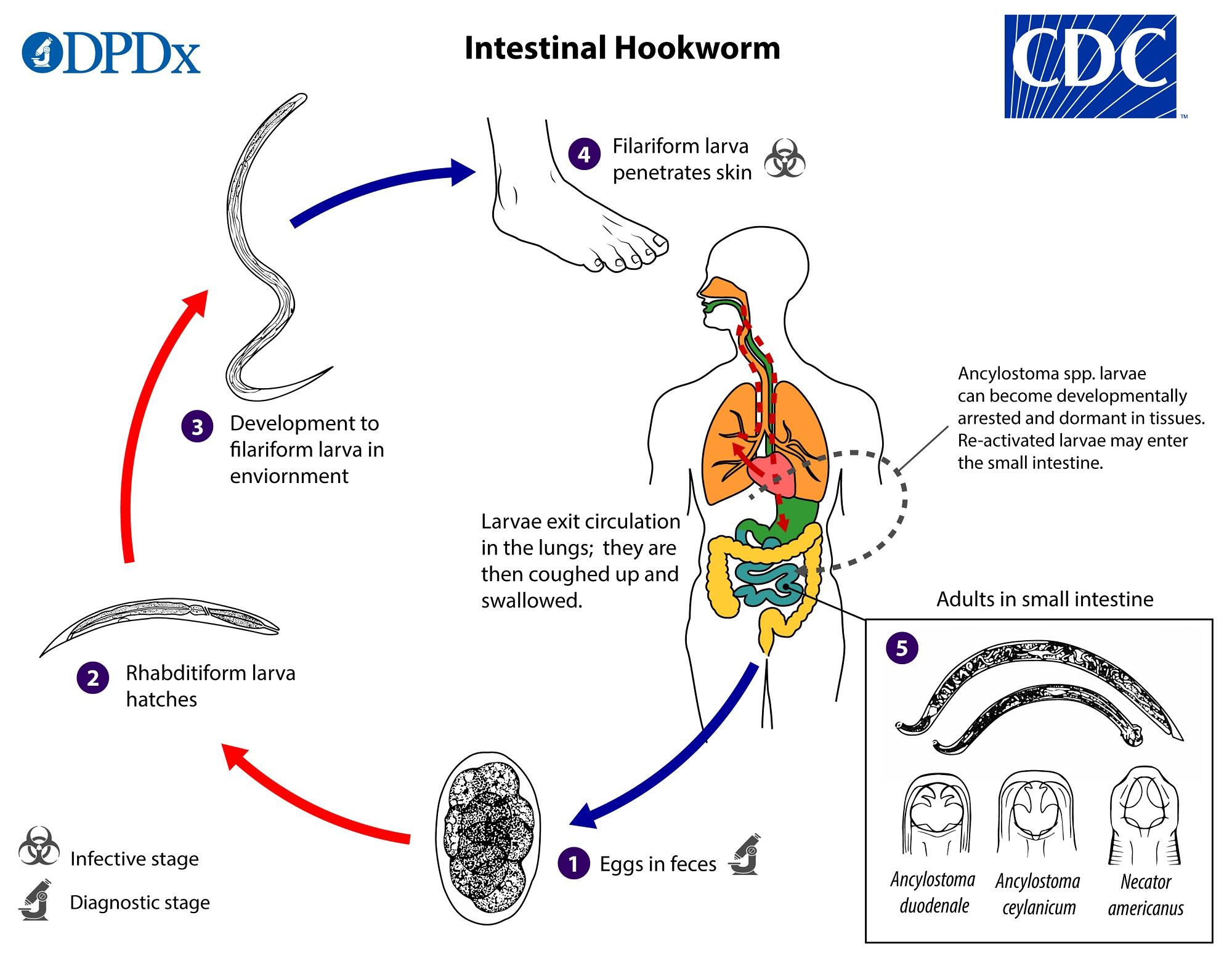 Ascaris kutatási módszer az emberek ureaplasma normálisak
