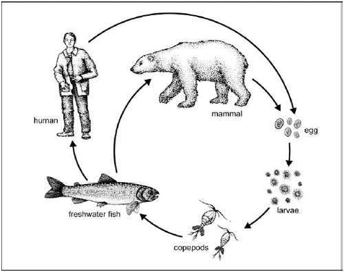 diphyllobothriasis biohelminthiasis