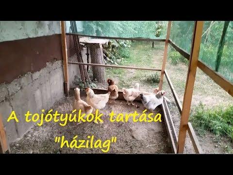 csirkék aszcariasis kezelése