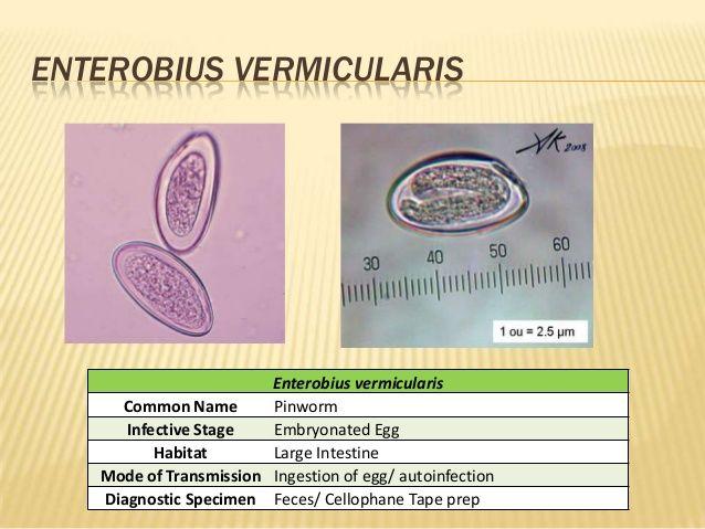 A Magyarországon előforduló féregfertőzések, Enterobiosis diagnózis felnőtteknél