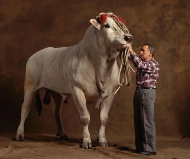 A leghosszabb bika szalagféreg A bika szalagféreg értéke