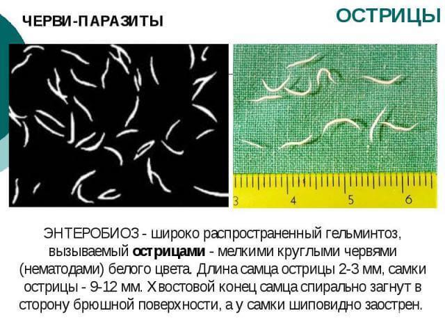 A pinworms méretei az emberekben - A pinworm mérete az emberekben