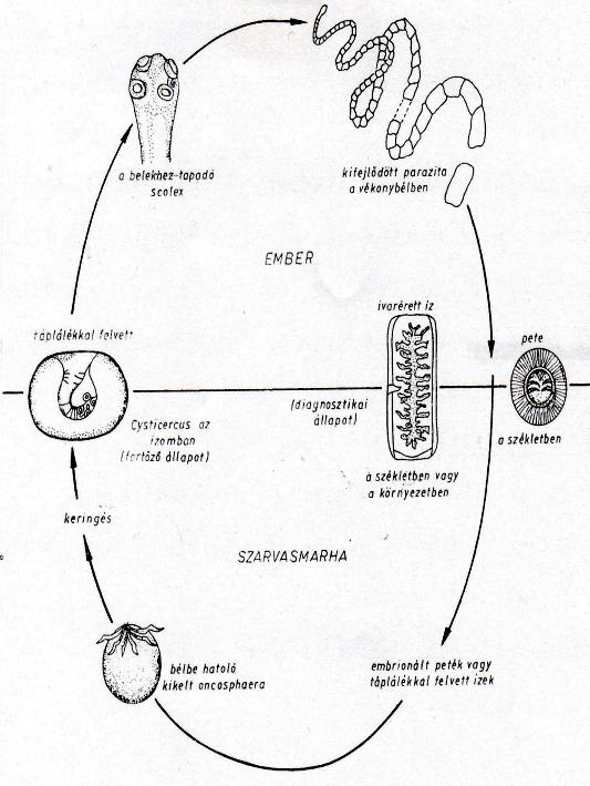 A szarvasmarha- szalagféreg fontossága az emberi életben - andrea-design.hu