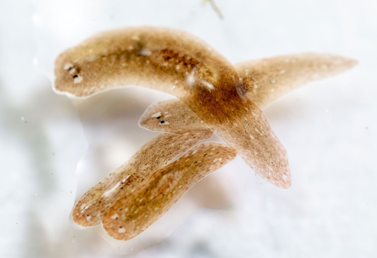 platyhelminthes turbellaria planaria hogyan lehet megszabadulni a széles spektrumú parazitáktól
