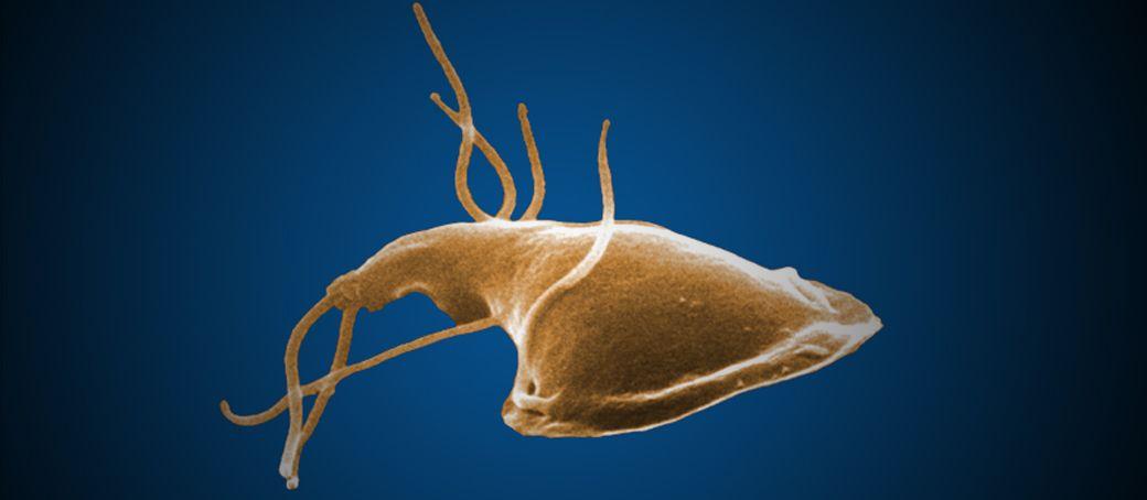 giardia worms parasite a férgek kezelésének első tünetei