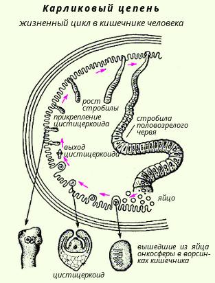 hogyan kell gyógyszert szedni férgek ellen diphyllobothriasis biohelminth