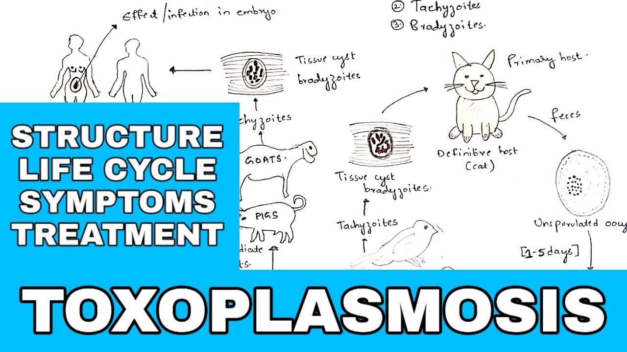 Humán toxoplasmosis inkubációs periódus