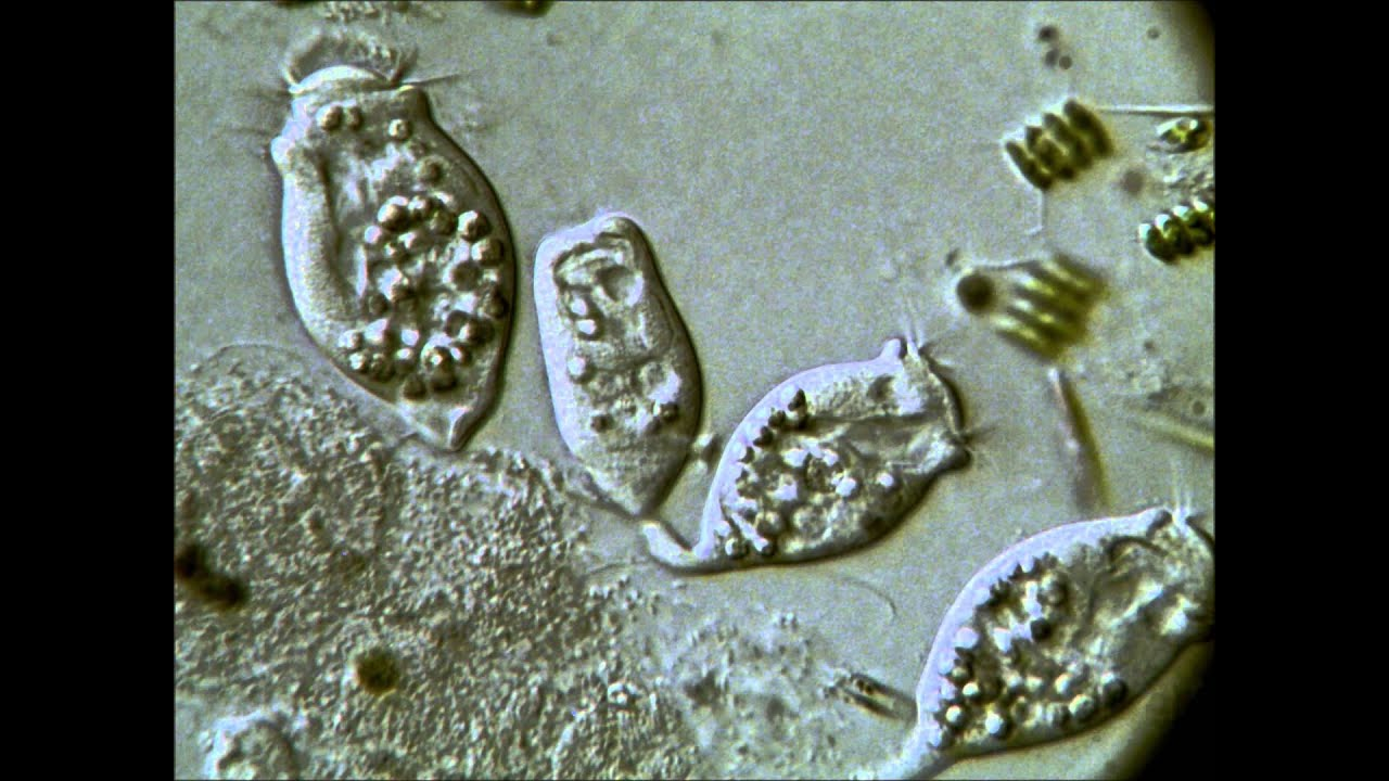 coccidian paraziták