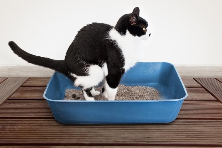 férges macska kezelése széles szalagféreg diagram fejlesztési ciklusa