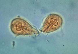 Ferdocat tabletta 20db mg - Giardia cati