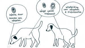 giardia hond zwangerschap