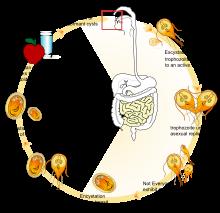 Giardia life cycle diagram. Giardia untreated giardia