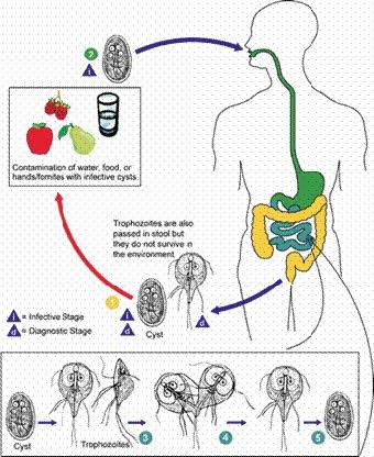 Giardiasis uptodate, Cursuri Boli Infectioase Pentru Medicina Generala Anul VI LM