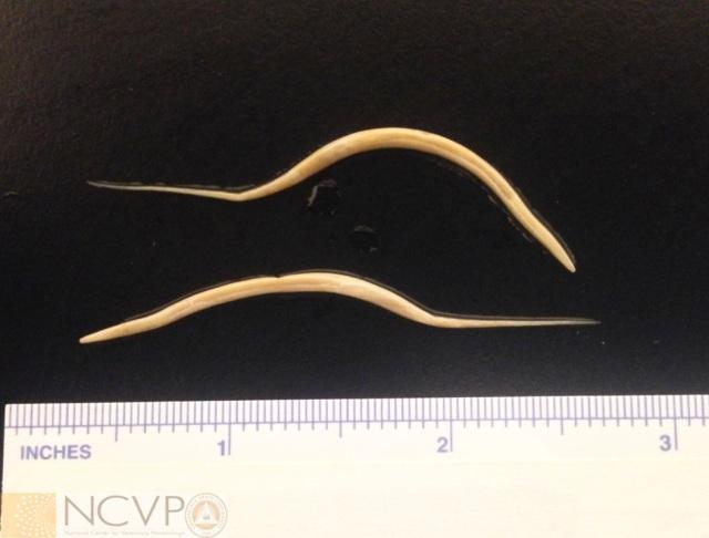 hőmérséklet pinworms kel felnőttkorban hogyan szaporodnak a pinworms egy emberben