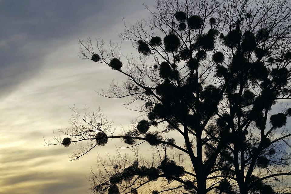 paraziták labdák a fák