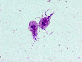 pasozyt giardia u psa