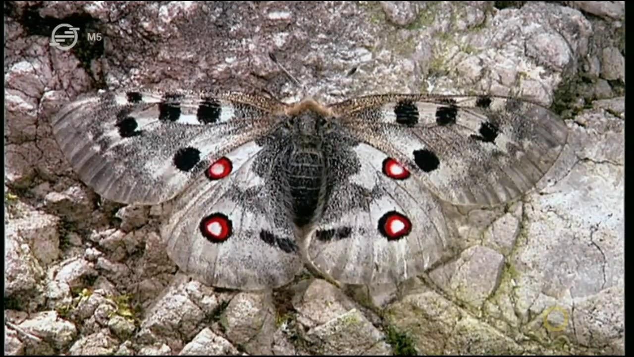 a pillangók paraziták