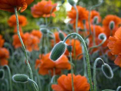 szalagféreg virágok